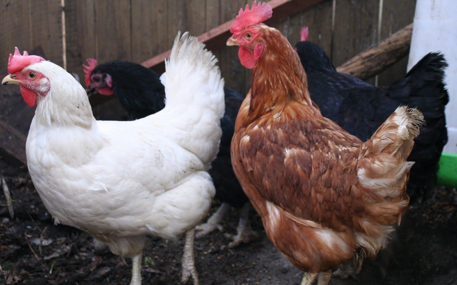 urban backyard chickens in phoenix
